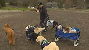 Seattle might license dog walkers komo for Dog walking license