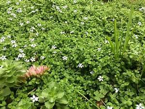 Bodendecker Blaue Blüten : gartenfreude blauer bubikopf pratia pedunculata im rasen ~ Frokenaadalensverden.com Haus und Dekorationen