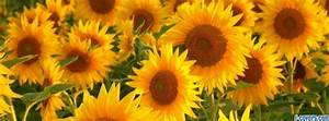 sunflower Facebook Cover timeline photo banner for fb