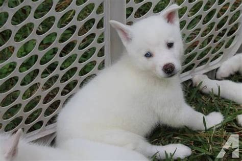 large wire crate for sale beautiful white siberian husky puppies for sale