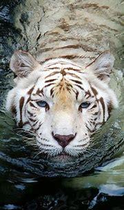 White tiger | Animals, Animals wild, Wild cats