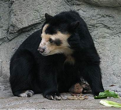 Bear Spectacled Wikipedia Zoo