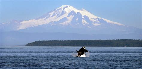 Barker Boats Lawsuit by Lawsuit Orcas Put In Peril By Canadian Pipeline And