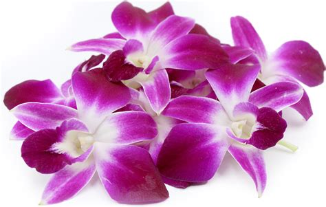 information of orchid flower orchid information and facts