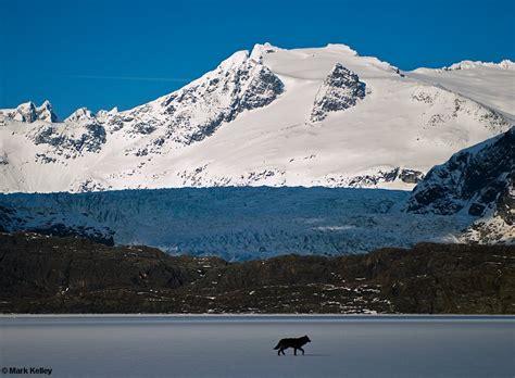black wolf romeo mendenhall lake juneau alaska image