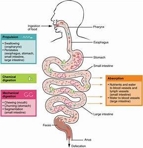 Digestive System Processes And Regulation