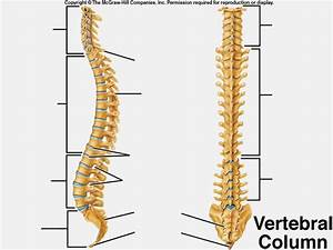 Gallery: Label The Vertebrae, - Anatomy Diagram Charts