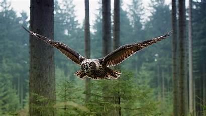 Owl Animals Flying Birds Landscape Nature Trees
