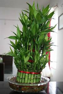 Bamboo Lamp Photo: Bamboo Indoor Plants