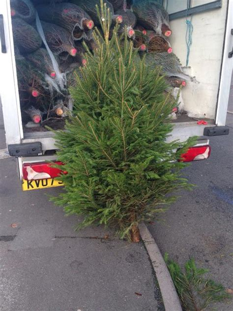 real evergreen non shed christmas trees 6 7ft tall