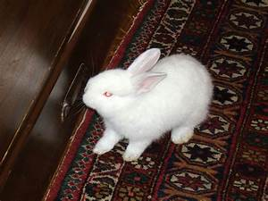 Free Stock Photo of White Dwarf Rabbit - Public Domain ...