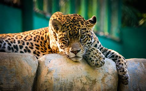 jaguar mexico cheetah hd animals  wallpapers images