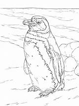 Penguin Coloring Pages Realistic Penguins Magellanic Printable Adults Drawing Animals Sea Ocean Threatened Near sketch template