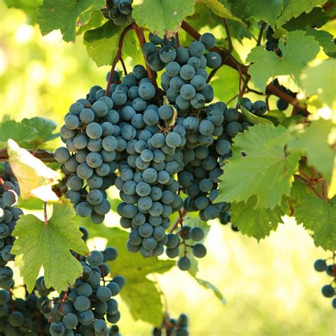what are grape vines buy dechaunac grape vines for sale double a vineyards