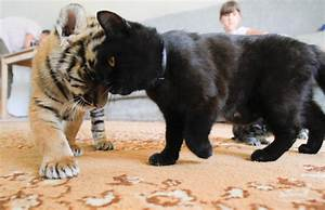Russia Baby Tigers | Kitty Bloger