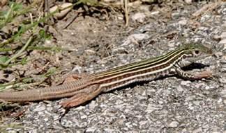 Central Texas Lizards