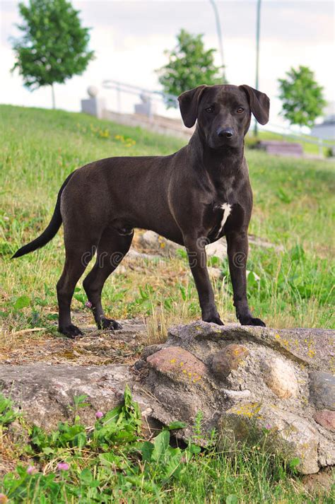 crossbreed standing terrier staffordshire american horse andalusian summer cane dog pre known spanish pure female years sta spagnolo incroci conosciuti