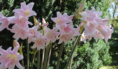 amaryllis is easy to grow royal colors