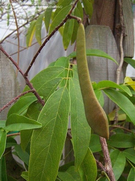 wisteria seed pods how to grow plantfiles pictures evergreen wisteria millettia reticulata by kauai17