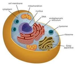 Animal Cell Diagram
