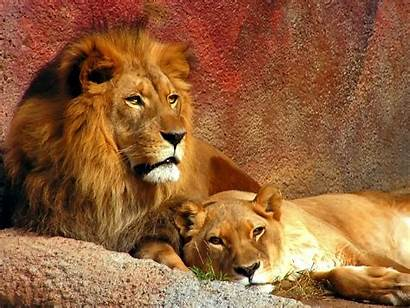 Lion Male Wallpapers Animals Lions Animal Wildlife
