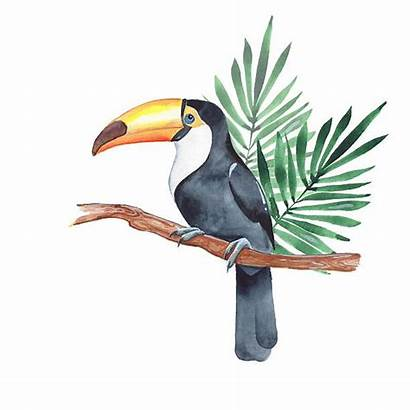 Toucan Illustrations Watercolor Clip Similar