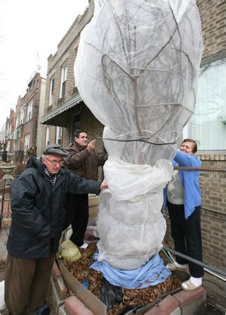 winter tree wrap custom of wrapping fig trees for the winter is falling away the new york times