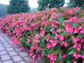 wing begonia care dragon begonias care related keywords dragon begonias care long tail keywords keywordsking