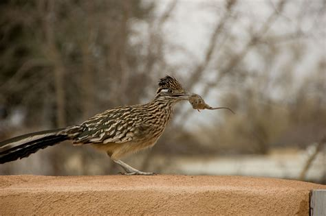 roadrunner eating mouse fat finch backyard birds
