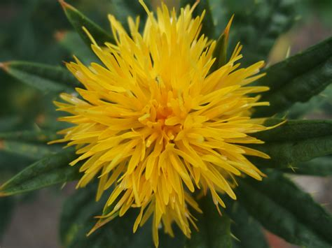 benibana safflower at namayasai llp japanese vegetable