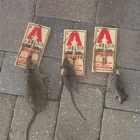 24 7 wildlife control 187 rat poison faqs pros cons vs