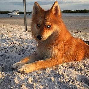 A Pomeranian-Husky Mix Who Is Better Looking Than Firefox.
