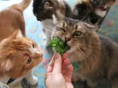 can cats have raw broccoli