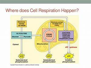 Photosynthesis And Cellular Respiration - Diagram Of The Mitochondria