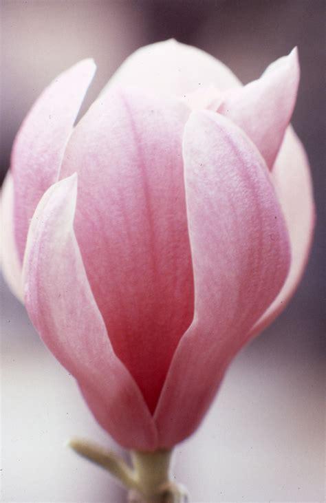 florida memory close    japanese magnolia flower