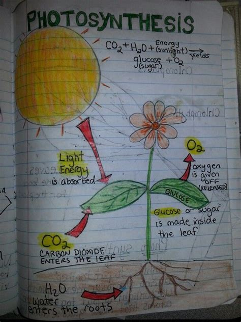 photosynthesis perfect    diagram students