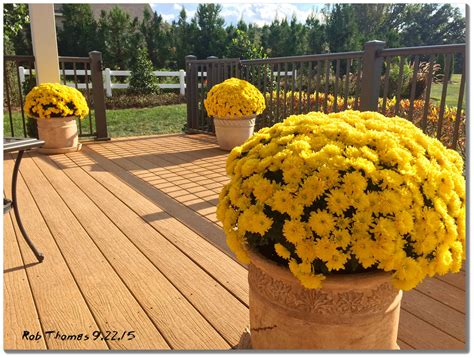 planting chrysanthemums in the fall what s your favorite fall plant mums the word in br