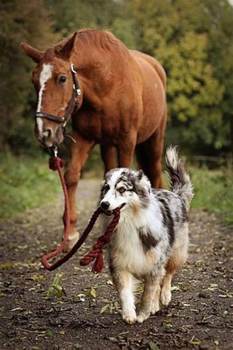 horses dogs friends horse dog friendship shepherd australian aussie walking sweet very pony pet cute pets collie amazing doggy border