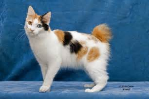 japanese cat breeds japanese bobtail cat breed history and some interesting