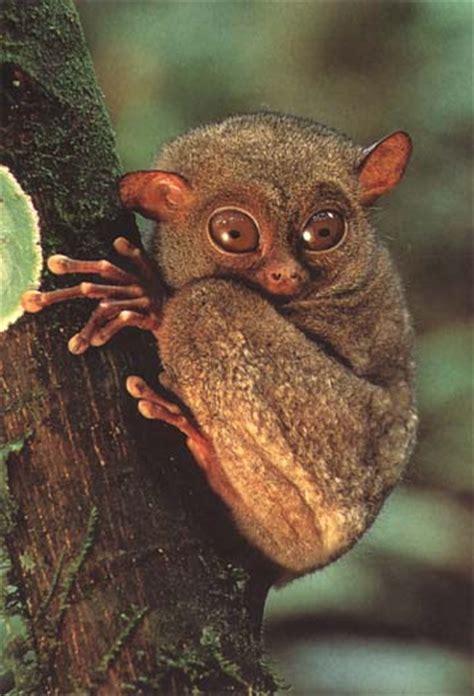 primates  prosimians tarsiers