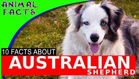 australian shepherd aussie dogs  interesting facts