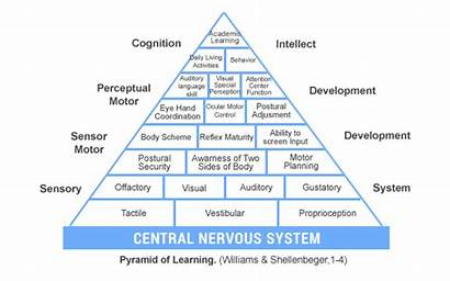 Brain Pyramid Development Sensory Integration Learning Therapy