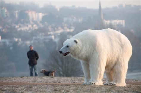 giant polar bear   loose  frightened london today