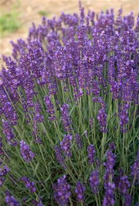 soil type for lavender the turquoise ixia comes from the cape region of south africa where it grows during the winter