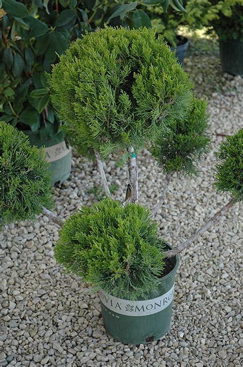 mint julep juniper pom pom juniperus chinensis mint