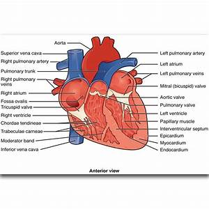 S2359 Structures Of The Heart Diagram Education Human Body Wall Art Painting Print On Silk