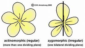 Bilaterally Symmetrical Flowers