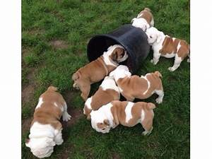 AKC Reg Males and Females Brown/White English Bulldog ...