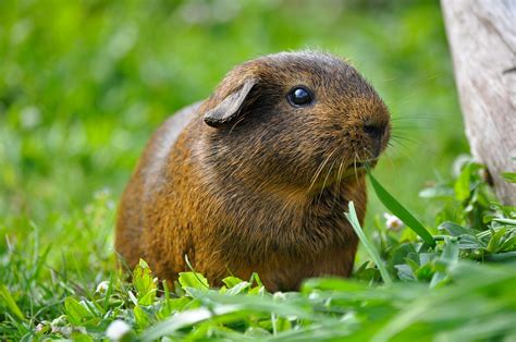 guinea pigs eat food healthy diet human toxic unhealthy