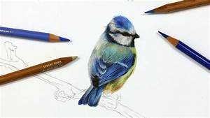 How To Draw A Blue Tit Using Coloured Pencil